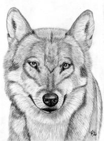 Bleistiftzeichnung, Tiere, Wolf, Portrait