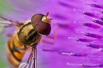 Insekten, Makro, Distel, Natur