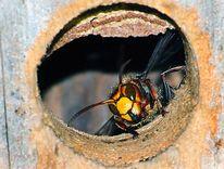 Natur, Fotografie, Insekten, Hornisse
