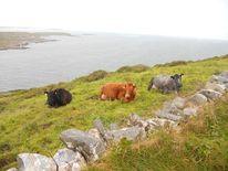 Kuh, Irland, Fotografie