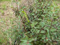 Ligusterschwärmer, Garten, Raupe, Fotografie