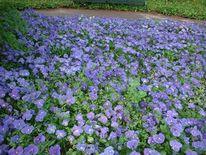 Stiefmütterchen, Blumen, Fotografie, Garten