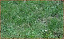 Margerite, Rasen, Digitale kunst, Natur