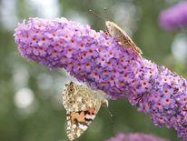 Schmetterling, Natur