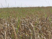 Getreide, Kamille, Digitale kunst, Natur