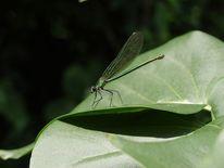 Libelle, Digitale kunst, Natur