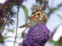 Schmetterlingsflieder, Blumen, Natur, Schmetterling