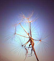 Pflanzen, Wiesenbocksbart, Digitale kunst