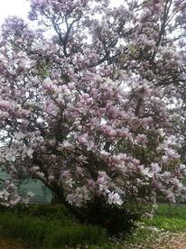 Fotografie, Magnolien, Baum