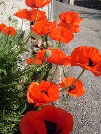 Blumen, Mohn, Mauer