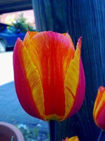 Rot, Tulpen, Fotografie