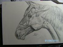 Wallach, Pferde, Bleistiftzeichnung, Zeichnung