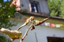 Digitale kunst, Tierfotografie, Libelle
