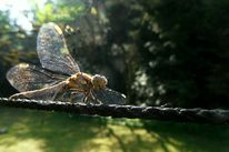 Tierfotografie, Libelle