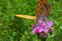 Tiere, Digitale kunst, Tierfotografie, Schmetterling