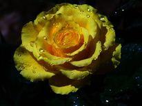 Rose, Wasser, Regen, Blumen