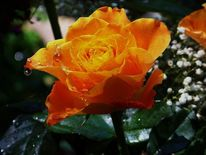 Wasser, Blumen, Regen, Rose