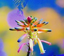 Blüte, Aloe arborescens, Krantz aloe, Tintenfisch