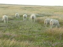 Meer, Niederlande, Dünen, Schaf