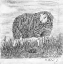 Schaf, Dünen, Niederlande, Texel
