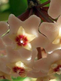 Fotografie, Farben, Wachsblumen, Pflanzen