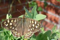 Garten, Schmetterling, Natur, Tiere