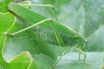 Garten, Grün, Grashüpfer, Insekten