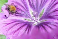 Blumen, Garten, Lila, Hummel