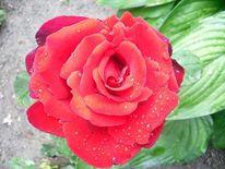 Natur, Garten, Rose, Duft
