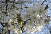 Natur, Kirsche, Garten, Blüte