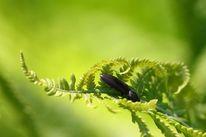 Farn käfer grün, Fotografie