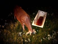 Fotografie, Kuh, Natur, Blut
