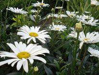 Blumen, Margariten, Natur, Fotografie