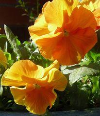 Garten, Natur, Pflanzen stiefmütterchen, Blumen