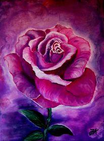 Rose, Violett, Blumen, Lila