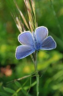 Schmetterling, Mohn, Fotografie, Bläuling