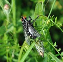 Schmetterling, Mohn, Fotografie, Fliegen