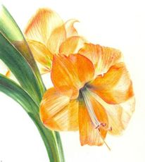Hippeastrum, Orange, Amaryllis, Fenster