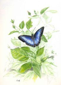 Schmetterling, Morphofalter, Hibiskus, Blau