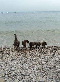 Tiere, Strand, Ente, Wasser