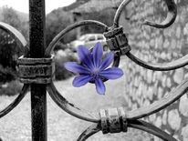 Blau, Veilchen, Schwarz weiß, Blumen