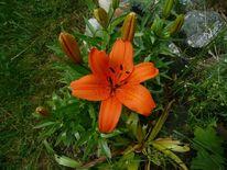 Lilie, Fotografie, Pflanzen, Orange