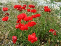Mohnblumen, Rot, Blumen, Fotografie