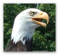 Tiere, Adler, Fotografie, Seeadler