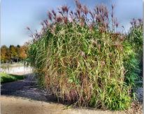 Landschaft, Garten, Bambusgras, Fotografie