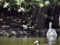 Schwaneninsel, Jungschwan, Teich wasser park, Fotografie