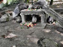 Stachelschweine, Tierpark futter, Fotografie