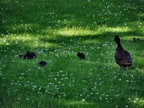 Sommersonne park spaziergang, Teich wasser park, Federpflege enten teich, Fotografie