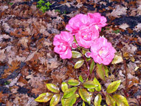 Garten, Rose, Landschaft, Fotografie
