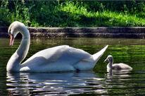 Sschwan, See, Schwanenjunges wasser, Fotografie